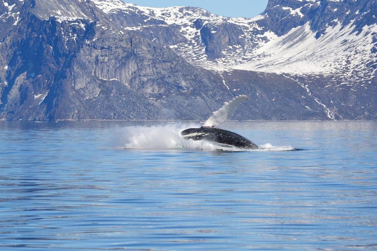 Pukkelhval leger i havets overflade i Nuuk Fjord - Fotograf: Klaus Eugenius, Visit Greenland