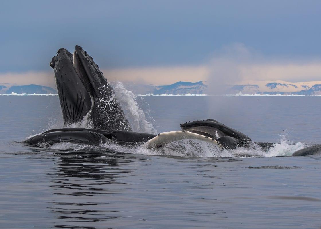 Kom tæt på hvalerne på hvalsafari - Fotograf: Kim Schytz